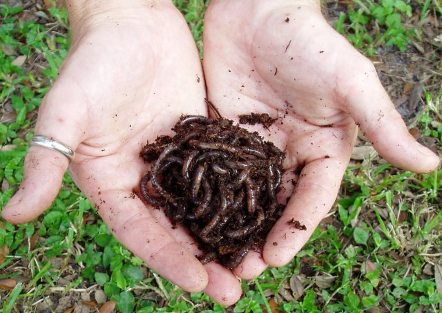 Worm Compost Redworms for sale Tampa Florida